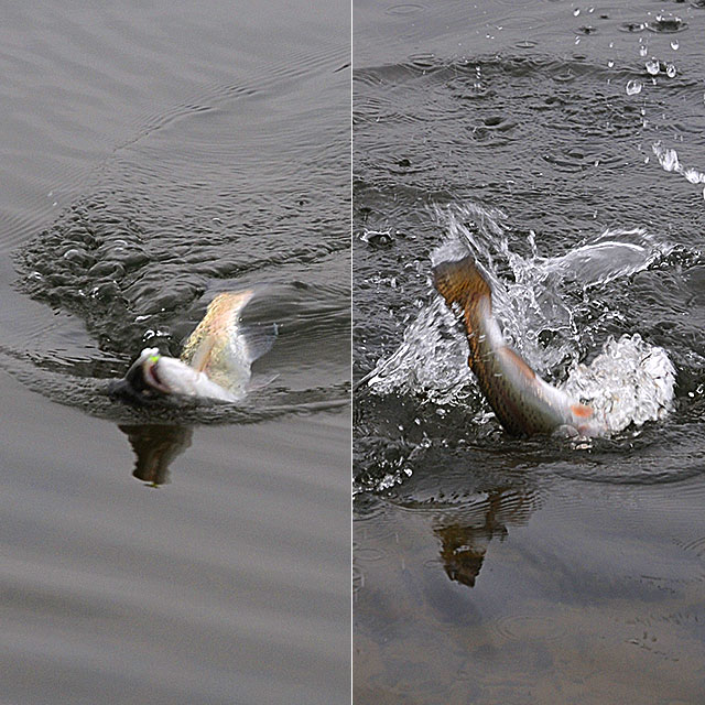 A fish fighting to get away