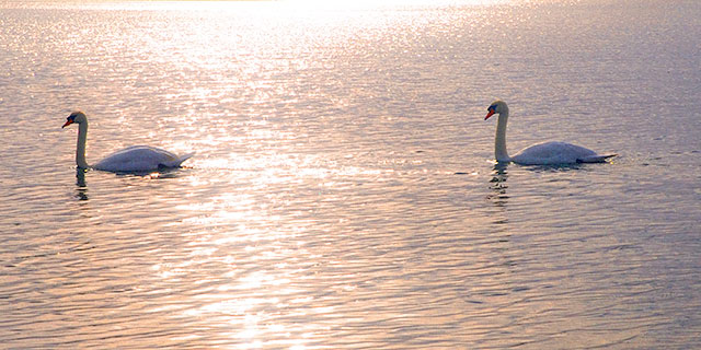 Swans in sunshine, on the water